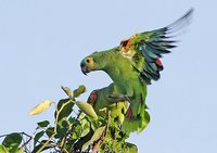 Blue-fronted Parrot - Amazona aestiva