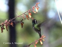 White-eared Hummingbird - Hylocharis leucotis