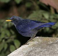 Blue Whistling-Thrush, Doi Inthanon