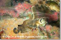 ...Image 07898, Sailfin sculpin., Nautichthys oculofasciatus, Phillip Colla, all rights reserved wo