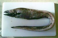 Diastobranchus capensis, Basketwork eel: