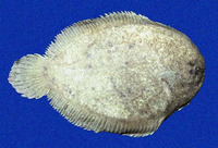 Achirus klunzingeri, Brown sole: fisheries