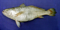 Otolithes cuvieri, Lesser tigertooth croaker: fisheries