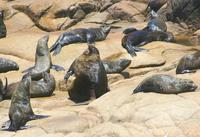 ...Image of: Otaria flavescens (South American sealion), Arctocephalus australis (South American fu