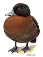 Image of: Anas aucklandica (flightless teal)
