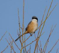 Image of: Lanius tephronotus (grey-backed shrike)
