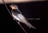 Hill Swallow - Hirundo domicola