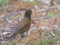 Izu Thrush (Turdus celaenops) photo