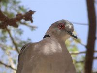 Ring-necked Dove - Streptopelia capicola