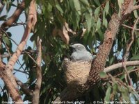 Ground Cuckoo-shrike - Coracina maxima