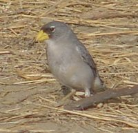 Cinereous Finch - Piezorhina cinerea
