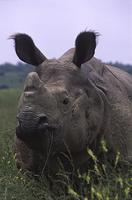 Indian Rhinoceros (Rhinoceros unicornis) Status: Endangered