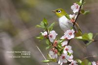한국동박새-Chestnut-flanked White-eye