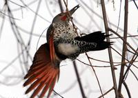 : Colaptes auratus; Red-shafted Northern Flicker