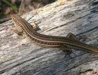 : Ctenotus robustus; Striped Skink