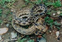 : Pituophis catenifer annectens; San Diego Gopher Snake