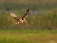 Eastern Marsh-Harrier Scientific name - Circus spilonotus