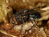 Calliphora vomitoria - Blue Bottle Fly