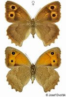 Hyponephele lupinus - Oriental Meadow Brown