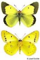 Colias erate - Eastern Pale Clouded Yellow