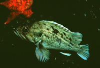 Sebastes auriculatus, Brown rockfish: fisheries, gamefish, aquarium, bait