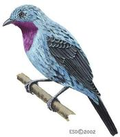 Image of: Cotinga cayana (spangled cotinga)