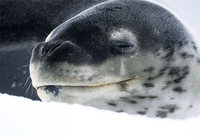 Photo: Leopard seal