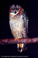 Mottled Wood Owl - Strix ocellata