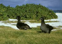 Black-footed Albatross - Diomedea nigripes