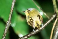 Yellow-lored Tody-Flycatcher - Todirostrum poliocephalum