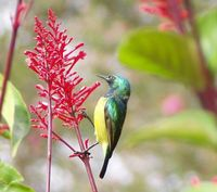 Collared Sunbird - Hedydipna collaris