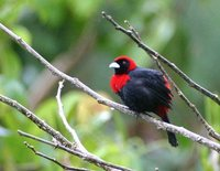 Crimson-collared Tanager - Ramphocelus sanguinolentus
