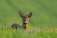 European Roe deer , Capreolus capreolus stock photo