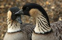 A pair of Hawaiian Nene Geese.