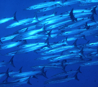 : Sphyraena genie; Blackfin Barracuda