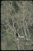 : Colobus polykomos; Black And White Colobus Monkey