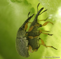 : Apion longirostre; Hollyhock Weevil