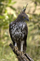 Spizaetus cirrhatus  Changeable Hawk Eagle photo