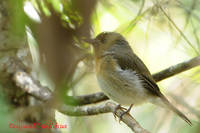 Hill Blue-flycatcher (Cyornis banyumas) female