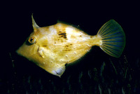 Stephanolepis diaspros, Reticulated leatherjacket: fisheries