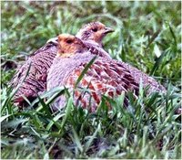Grey Partridge Perdix perdix