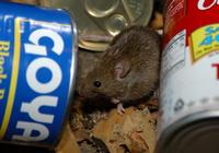 Image of: Mus musculus (house mouse)