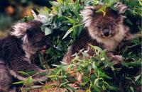 Image of: Phascolarctos cinereus (koala)