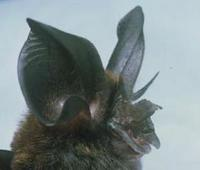 Image of: Rhinolophus philippinensis (large-eared horseshoe bat)