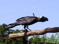 Corvus crassirostris - Thick-billed Raven