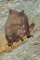 Plecotus austriacus - Grey Big-eared Bat