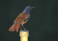 Chestnut-winged Whistling Thrush - Myophonus castaneus