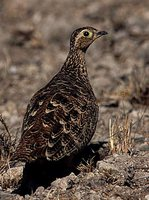 Black-faced Sandgrouse - Pterocles decoratus