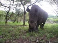 Wild animals, such as this rhino, are quick to pick up on something in their new environment...