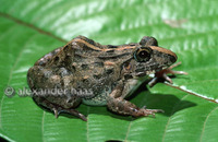 : Fejervarya limnocharis; Alpine Cricket Frog